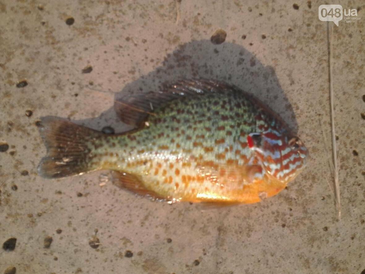 В одесском лимане поймали необычную рыбку родом из Северной Америки (ФОТО), фото-1