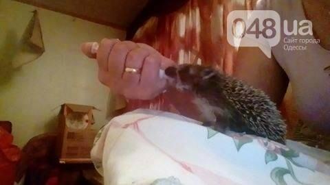 Смотри, какой милый: Одесситка выкормила из бутылки ежонка (ФОТО), фото-3