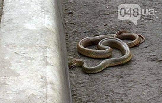 Во дворах на Котовского одесситы нашли ядовитую змею (ФОТО), фото-1