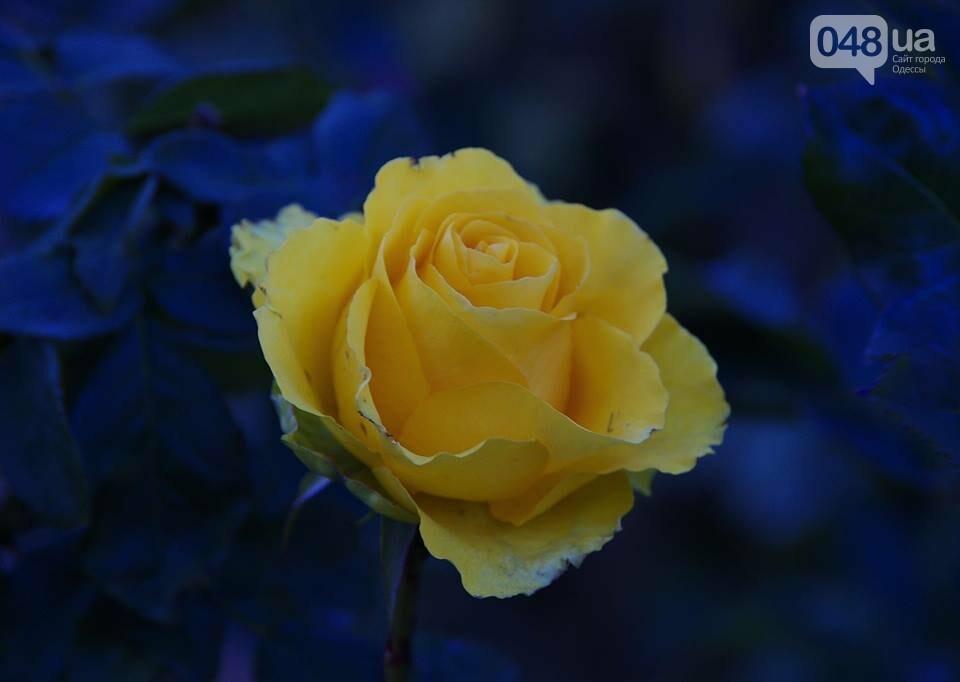 Завораживающие ноябрьские розы от одесской фотохудожницы (ФОТО), фото-7