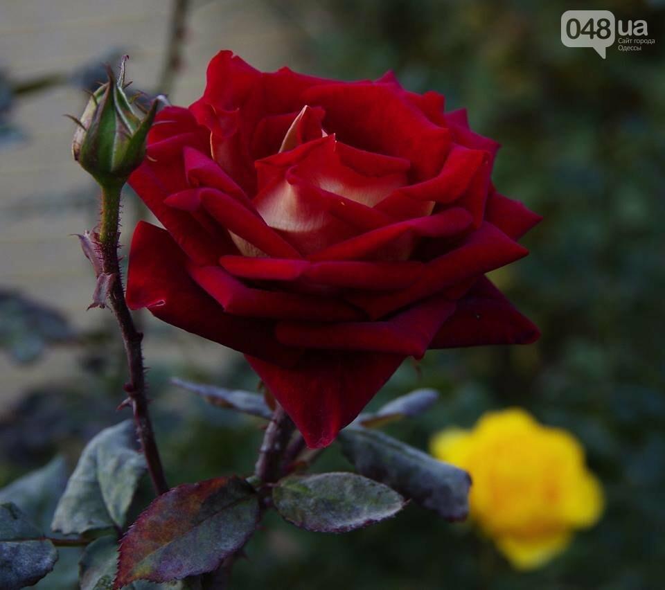 Завораживающие ноябрьские розы от одесской фотохудожницы (ФОТО), фото-3
