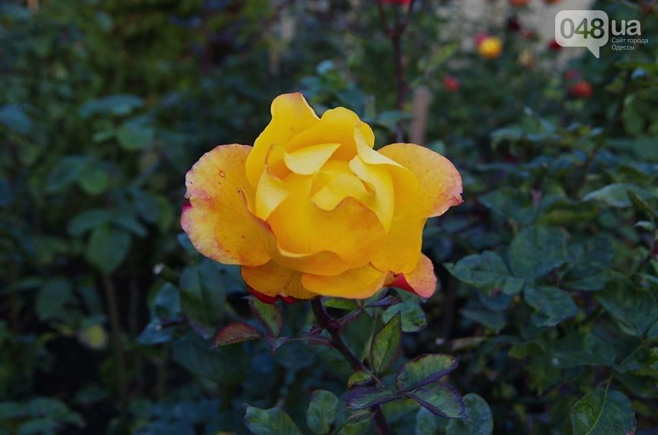 Завораживающие ноябрьские розы от одесской фотохудожницы (ФОТО), фото-5