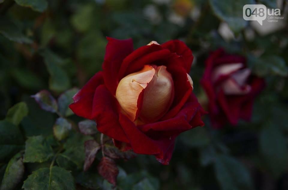 Завораживающие ноябрьские розы от одесской фотохудожницы (ФОТО), фото-8