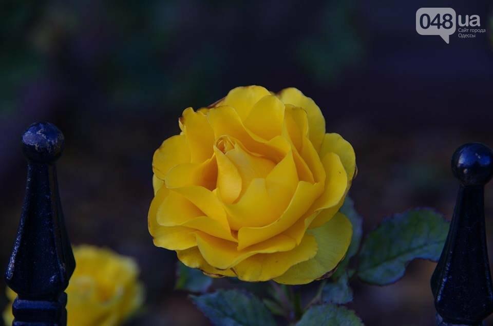 Завораживающие ноябрьские розы от одесской фотохудожницы (ФОТО), фото-9