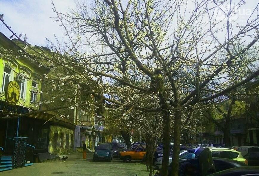 Цветущие абрикосы дышат весной в центре Одессы (ФОТО), фото-6