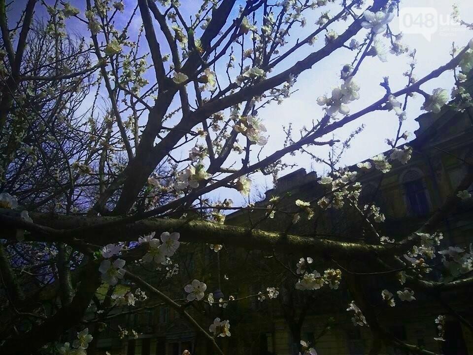 Цветущие абрикосы дышат весной в центре Одессы (ФОТО), фото-3