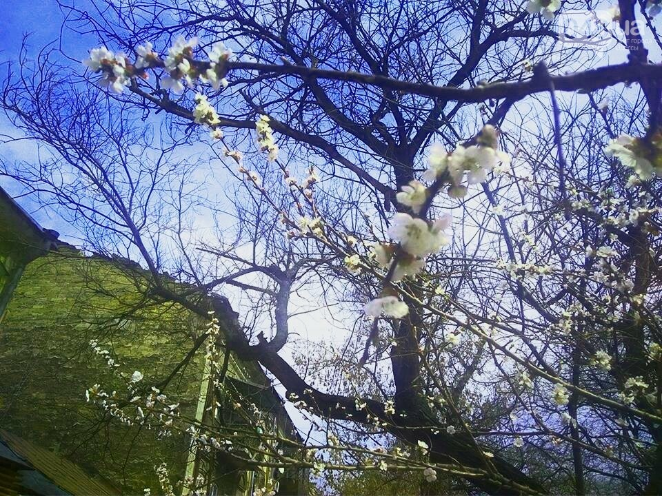Цветущие абрикосы дышат весной в центре Одессы (ФОТО), фото-4