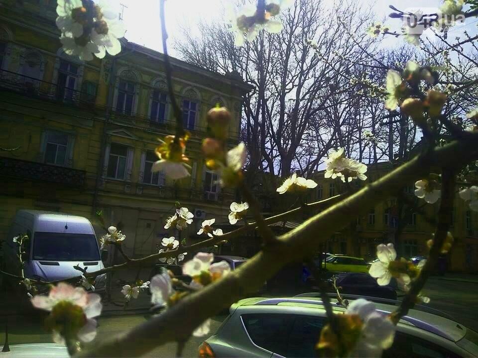 Цветущие абрикосы дышат весной в центре Одессы (ФОТО), фото-5