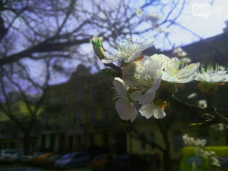 Цветущие абрикосы дышат весной в центре Одессы (ФОТО), фото-2