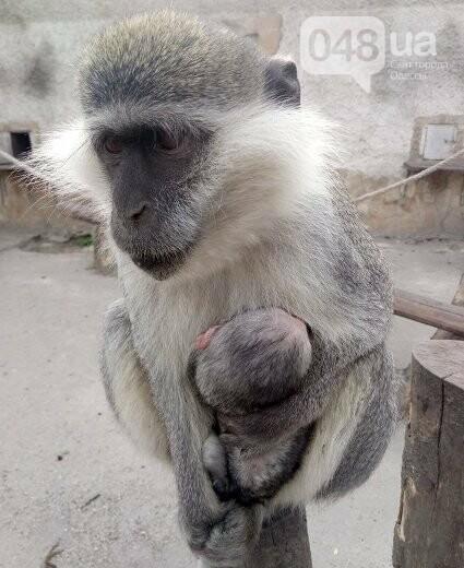 В одесском зоопарке родилась зеленая мартышка (ФОТО), фото-1
