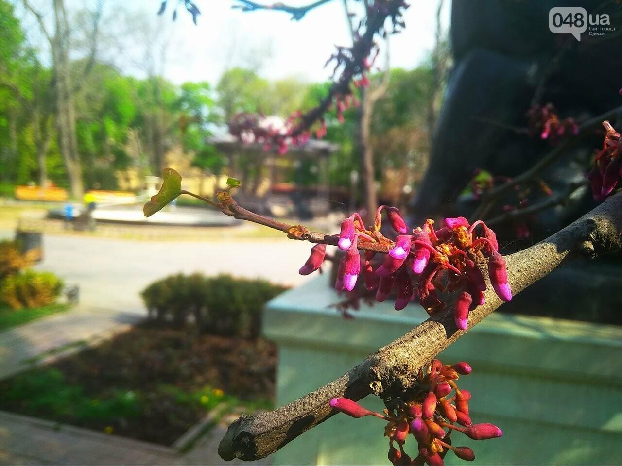 В одесском Горсаду зацвело то самое сиреневое дерево (ФОТО), фото-3