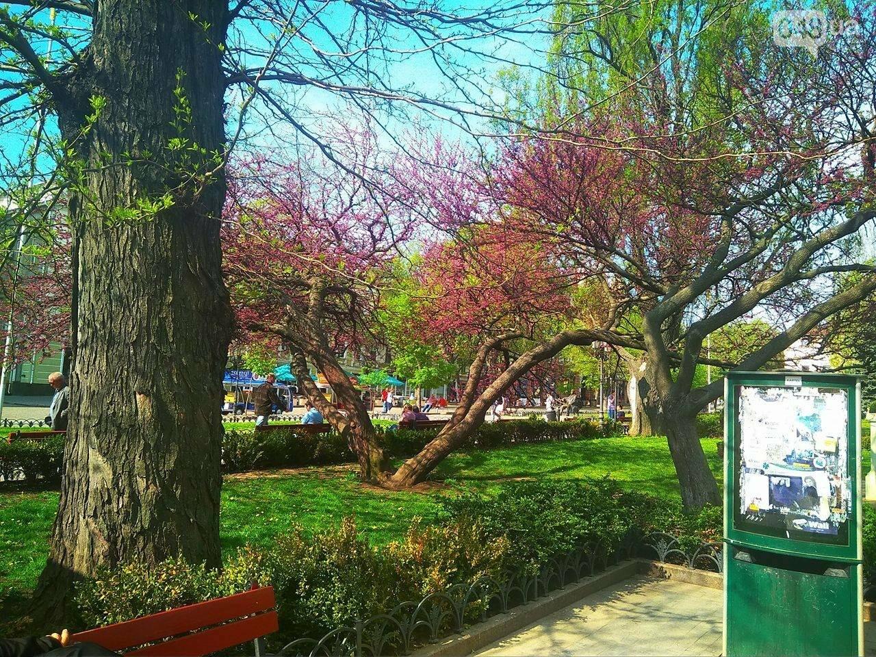 В одесском Горсаду зацвело то самое сиреневое дерево (ФОТО), фото-4