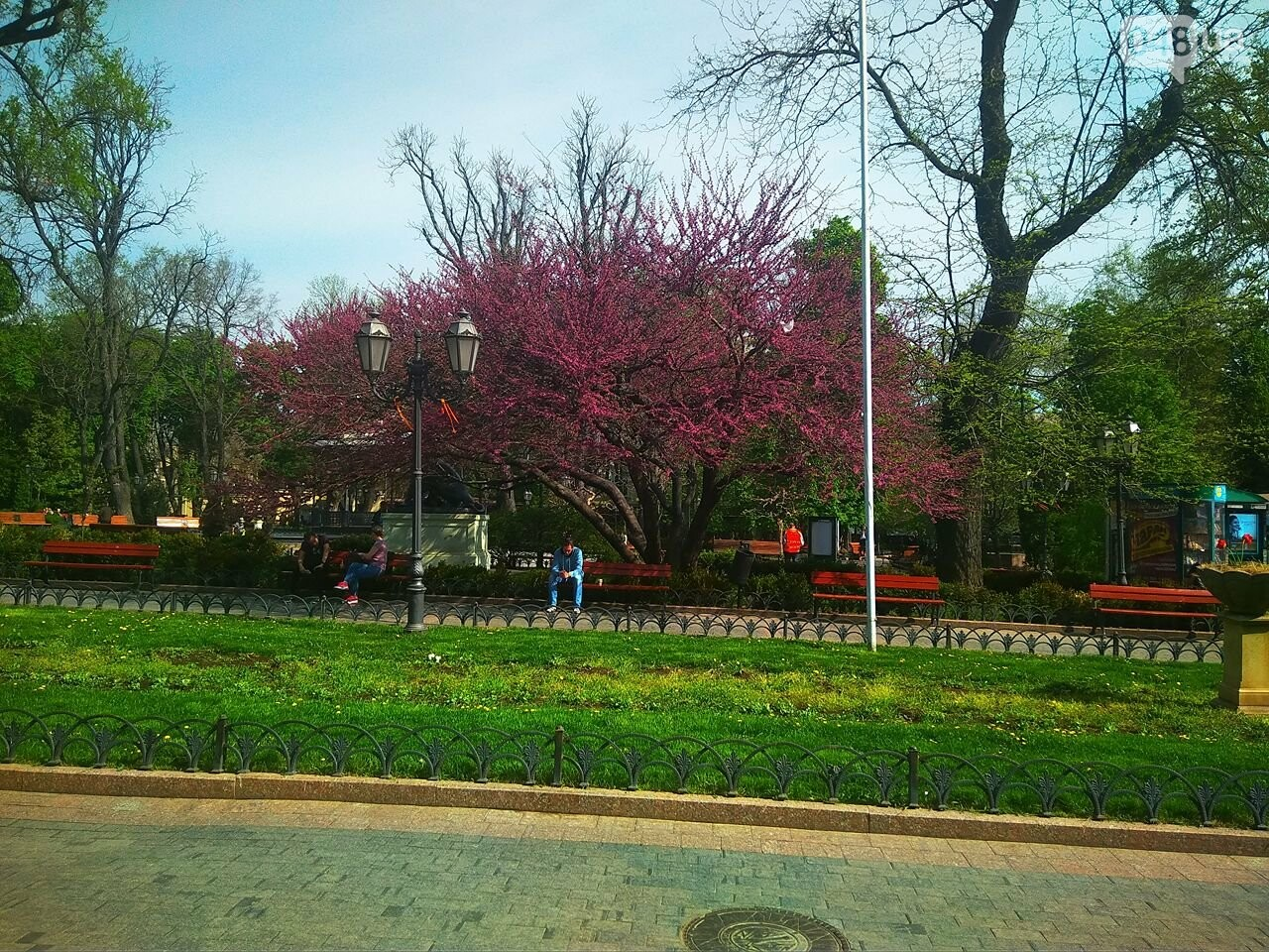 В одесском Горсаду зацвело то самое сиреневое дерево (ФОТО), фото-1