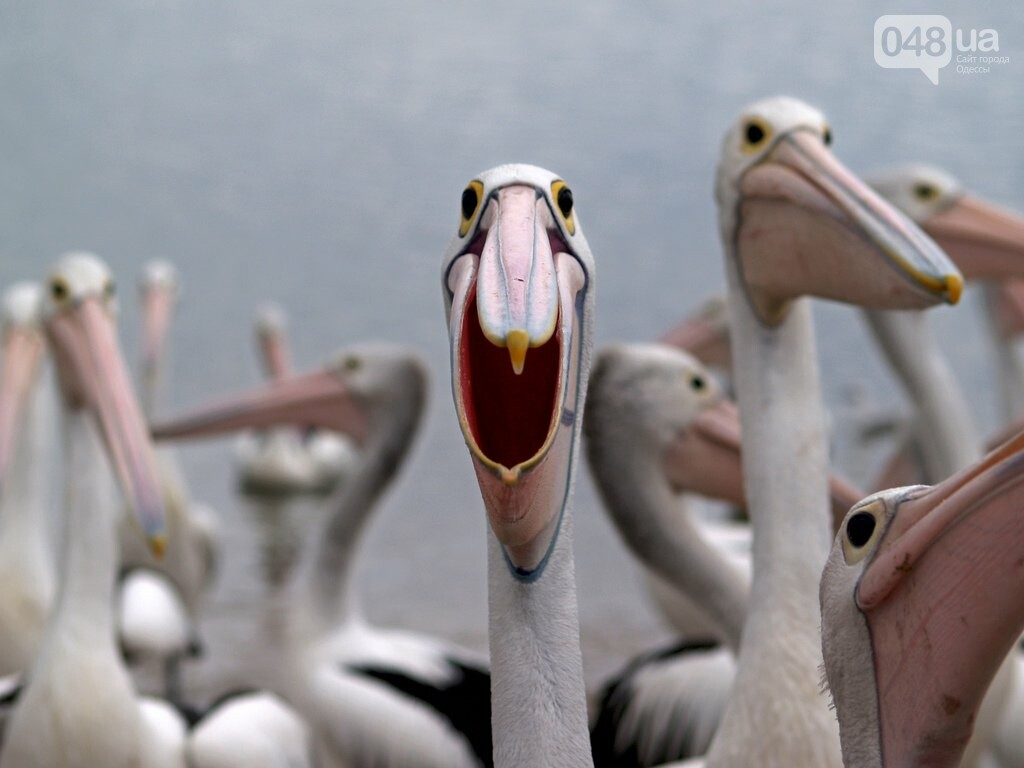 В Одесской области строят остров для пеликанов (ФОТО), фото-5