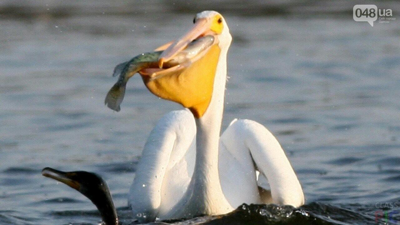 В Одесской области строят остров для пеликанов (ФОТО), фото-6