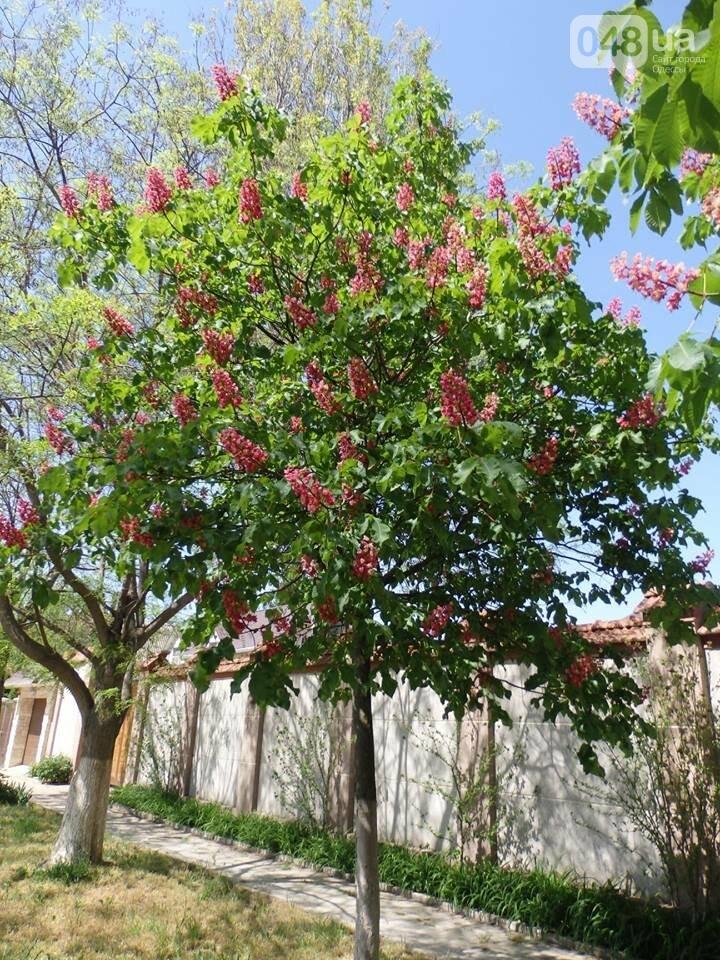 В Одессе расцвели розовые каштаны, - ФОТОФАКТ, фото-5