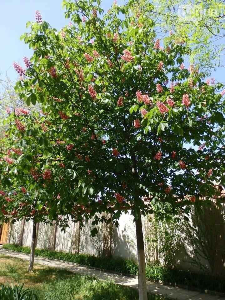 В Одессе расцвели розовые каштаны, - ФОТОФАКТ, фото-6