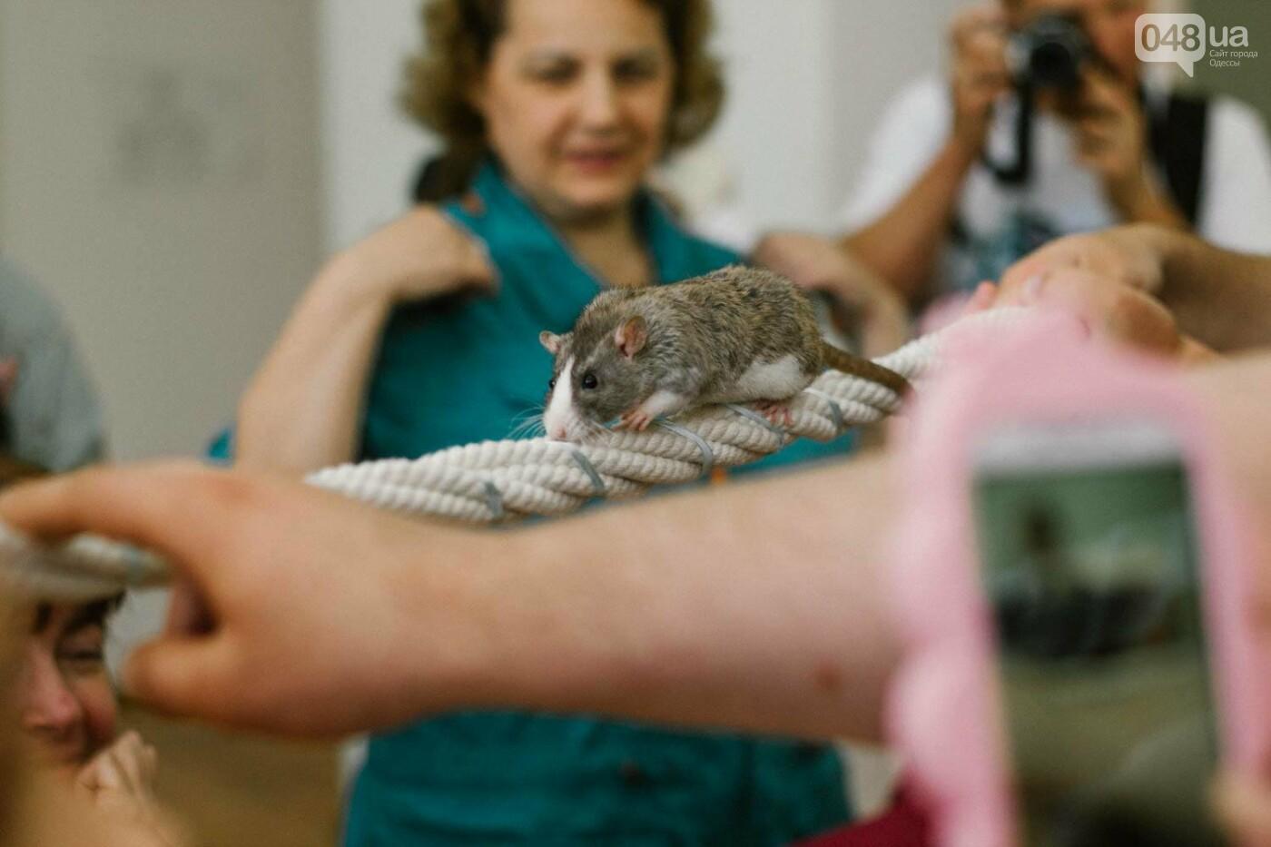 Канатоходцы, бегуны и модники: в Одессе крысам устроили необычный конкурс, - ФОТО, фото-2