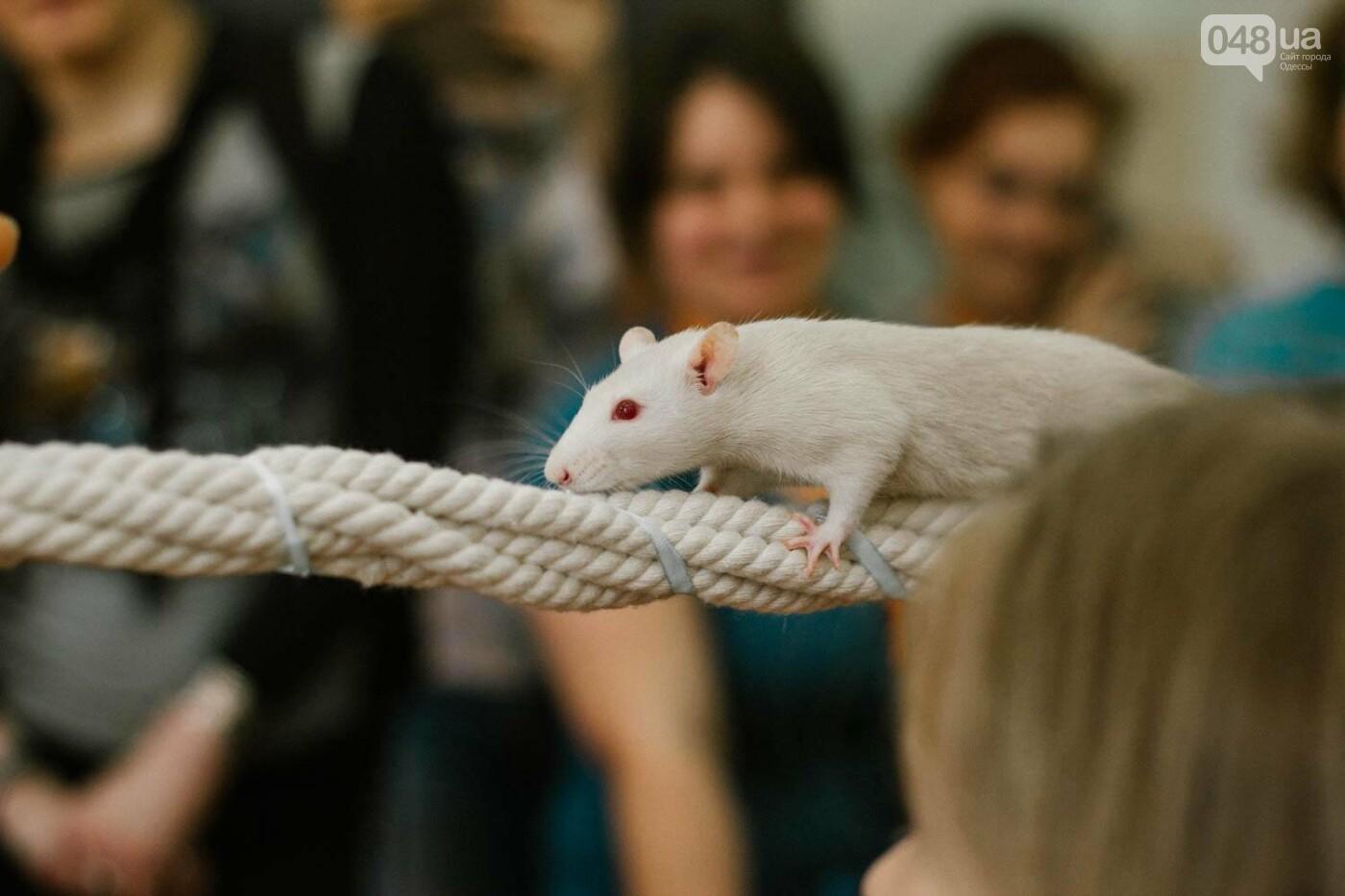 Канатоходцы, бегуны и модники: в Одессе крысам устроили необычный конкурс, - ФОТО, фото-3