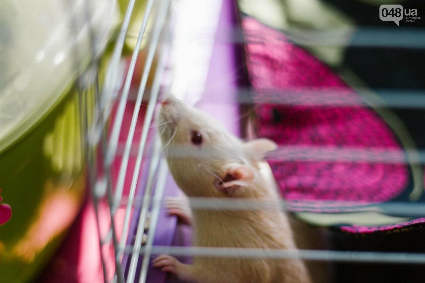 Канатоходцы, бегуны и модники: в Одессе крысам устроили необычный конкурс, - ФОТО, фото-6