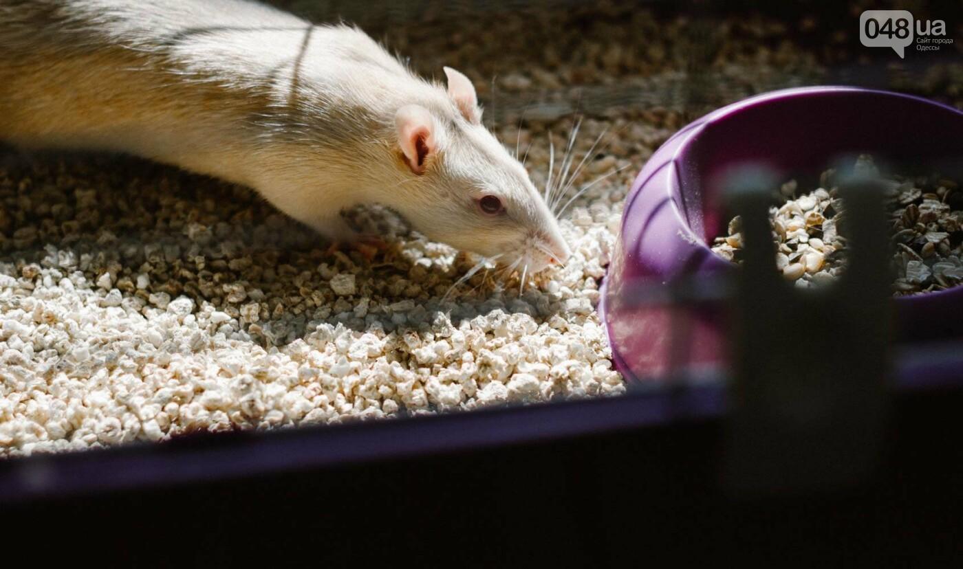 Канатоходцы, бегуны и модники: в Одессе крысам устроили необычный конкурс, - ФОТО, фото-14