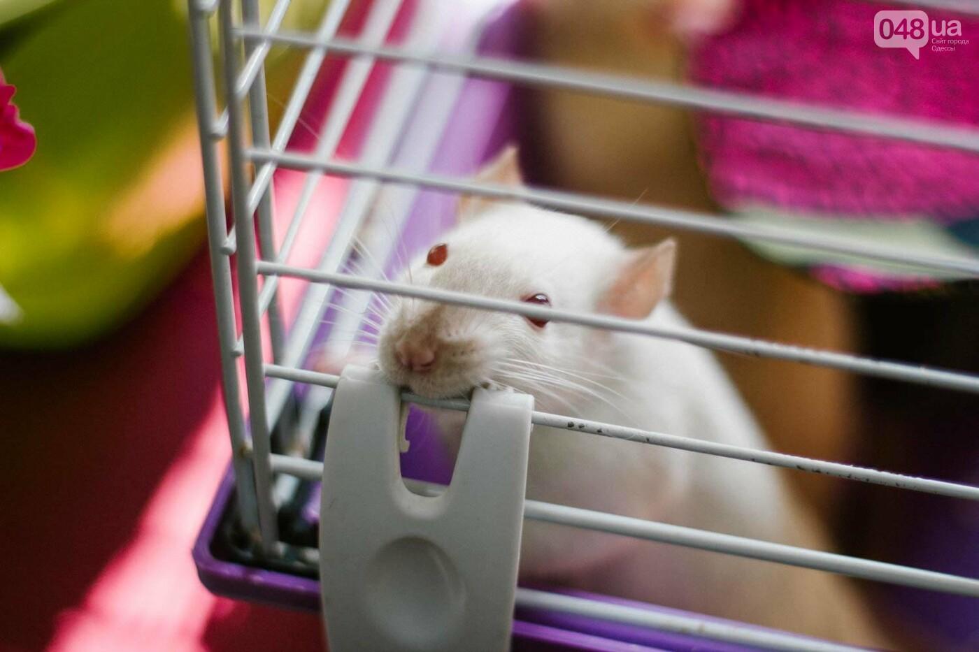 Канатоходцы, бегуны и модники: в Одессе крысам устроили необычный конкурс, - ФОТО, фото-8