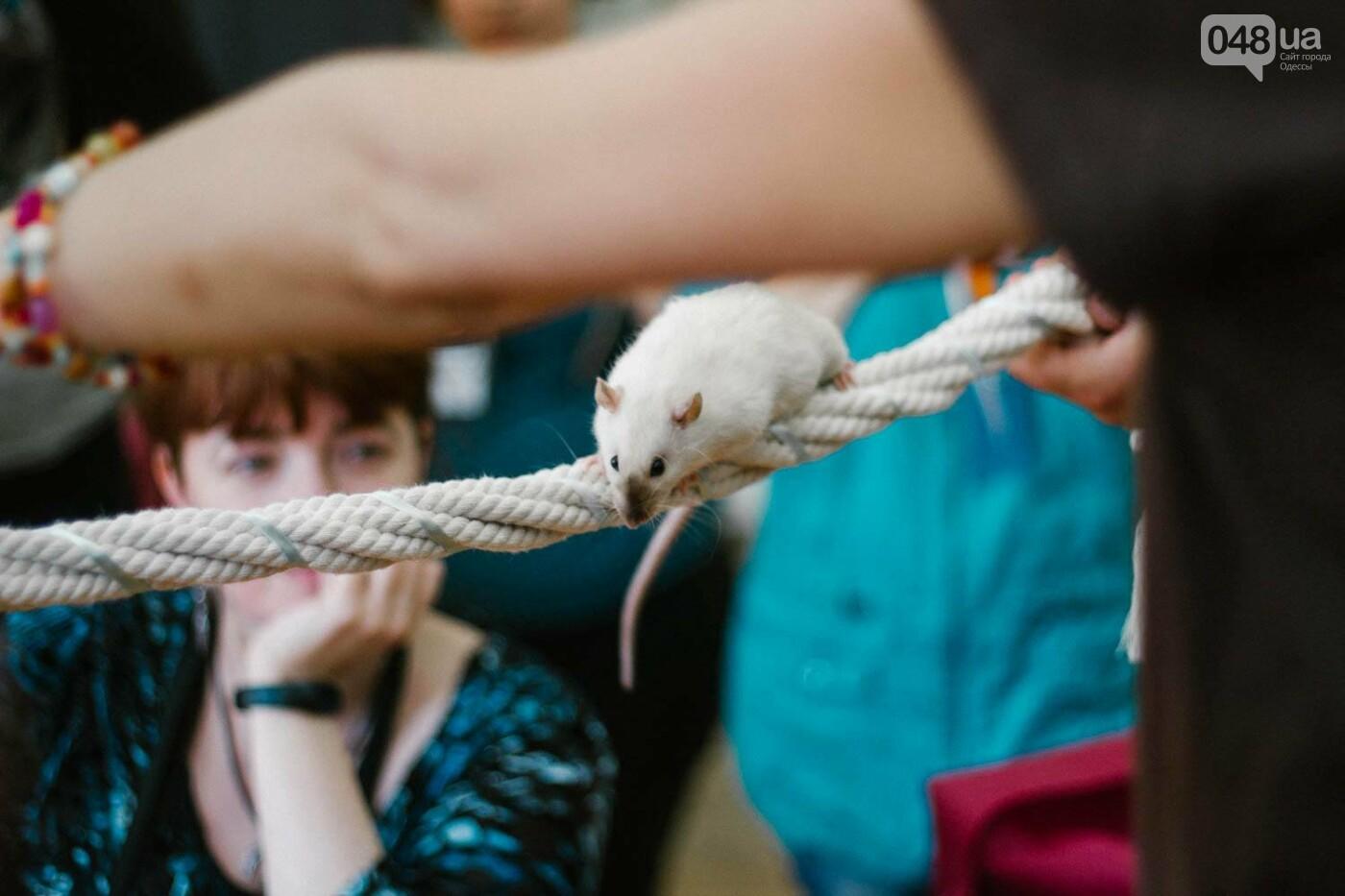 Канатоходцы, бегуны и модники: в Одессе крысам устроили необычный конкурс, - ФОТО, фото-10