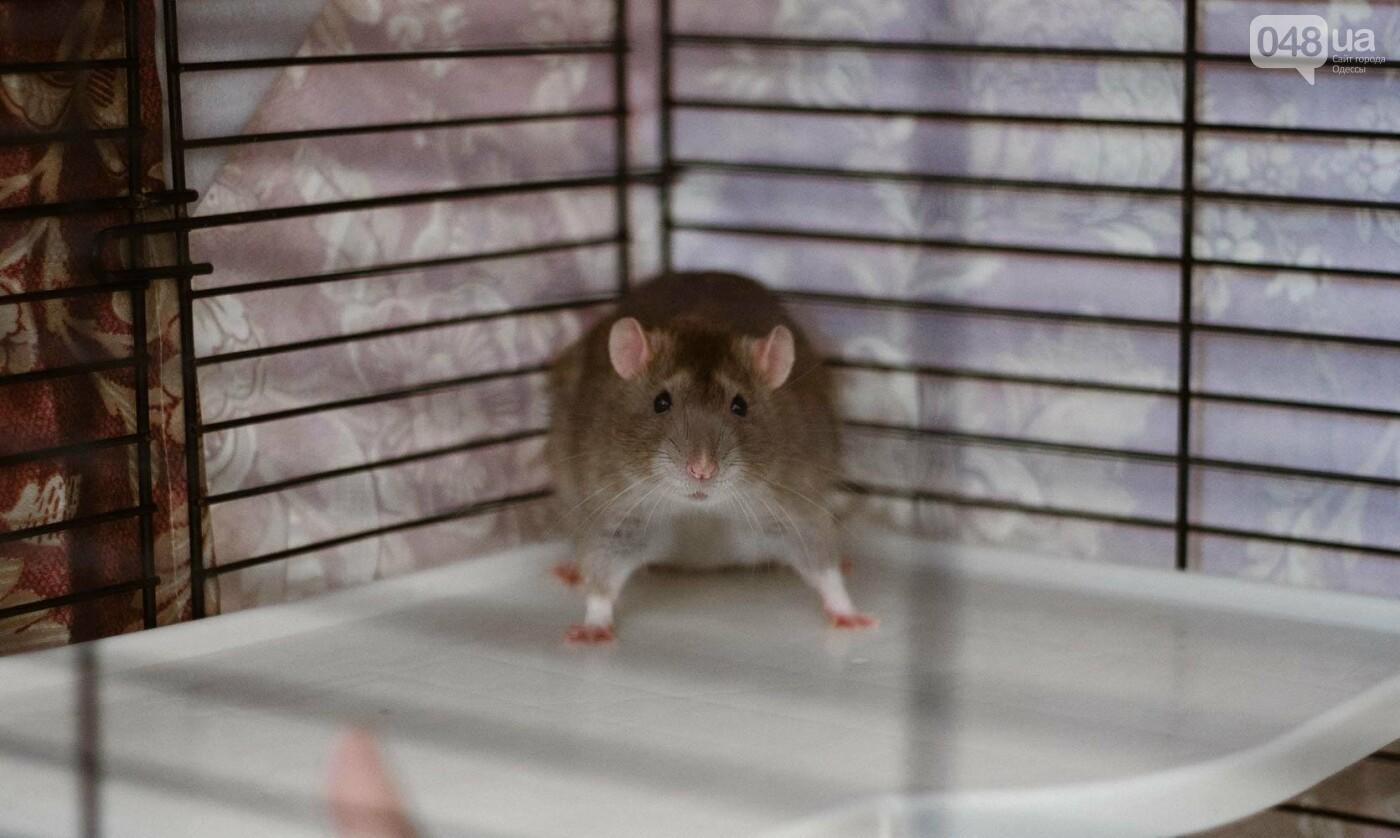 Канатоходцы, бегуны и модники: в Одессе крысам устроили необычный конкурс, - ФОТО, фото-12