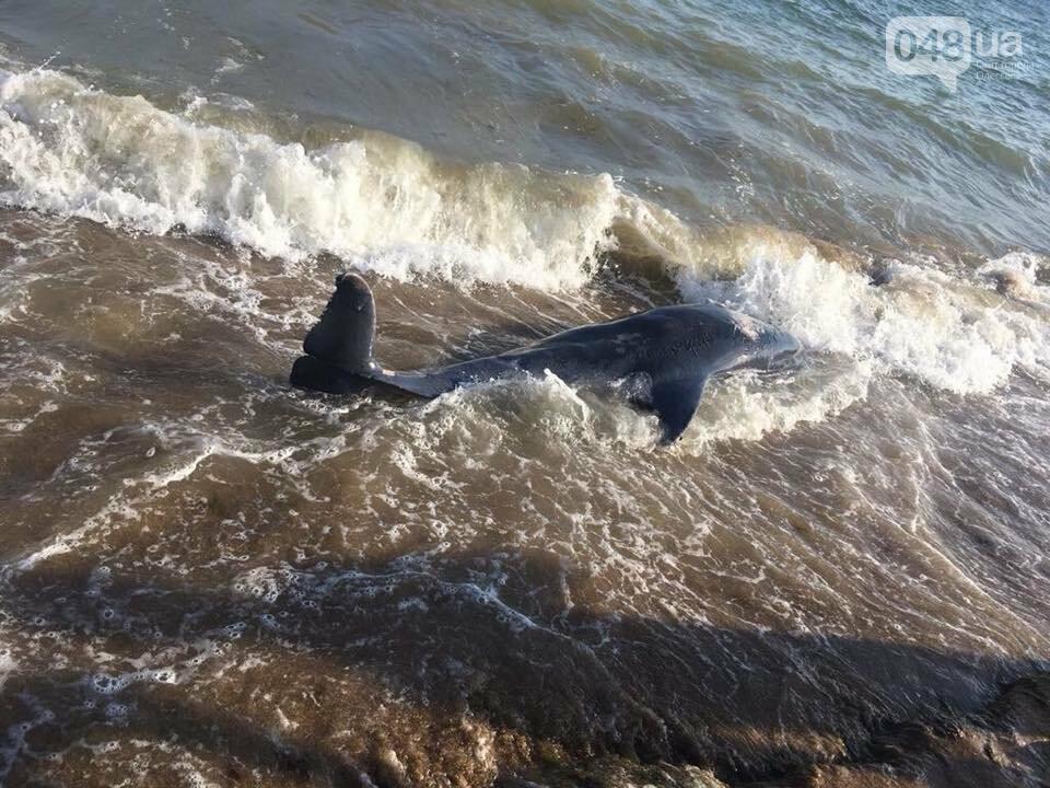 Под Одессой на пляж выбросило мертвую морскую свинью, - ФОТО, фото-1