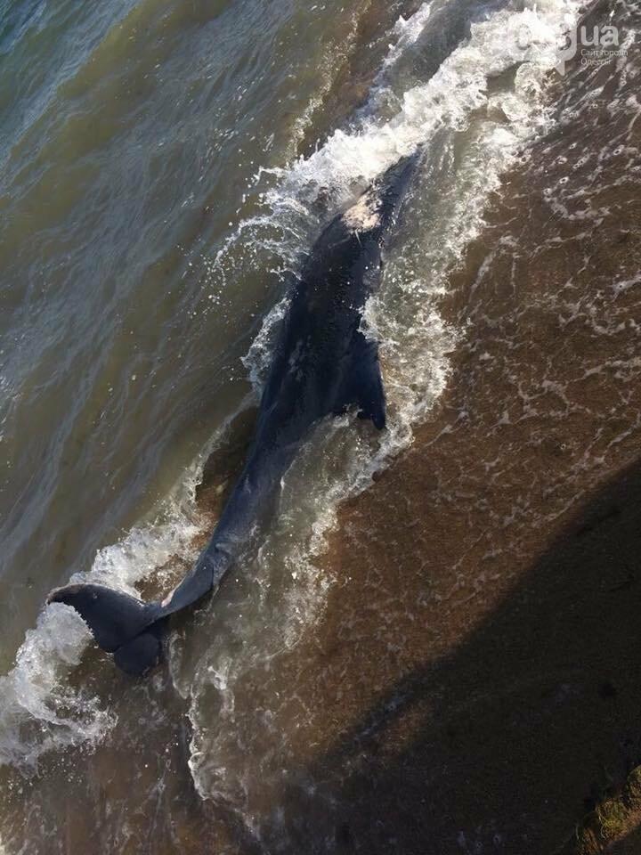 Под Одессой на пляж выбросило мертвую морскую свинью, - ФОТО, фото-3