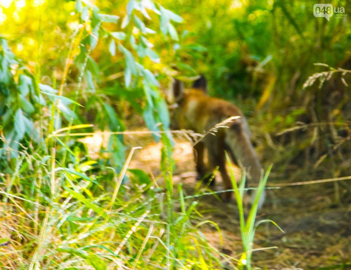 Под Одессой на волю выпустили лисенка, которого собирались отдать на растерзание собакам, - ФОТО, фото-4