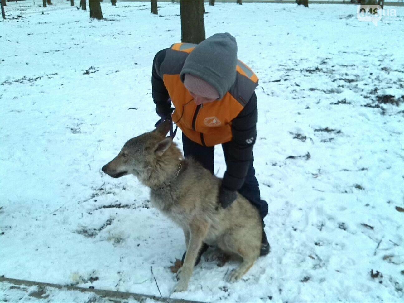 В Одесском парке гуляет волк, - ФОТО, фото-1
