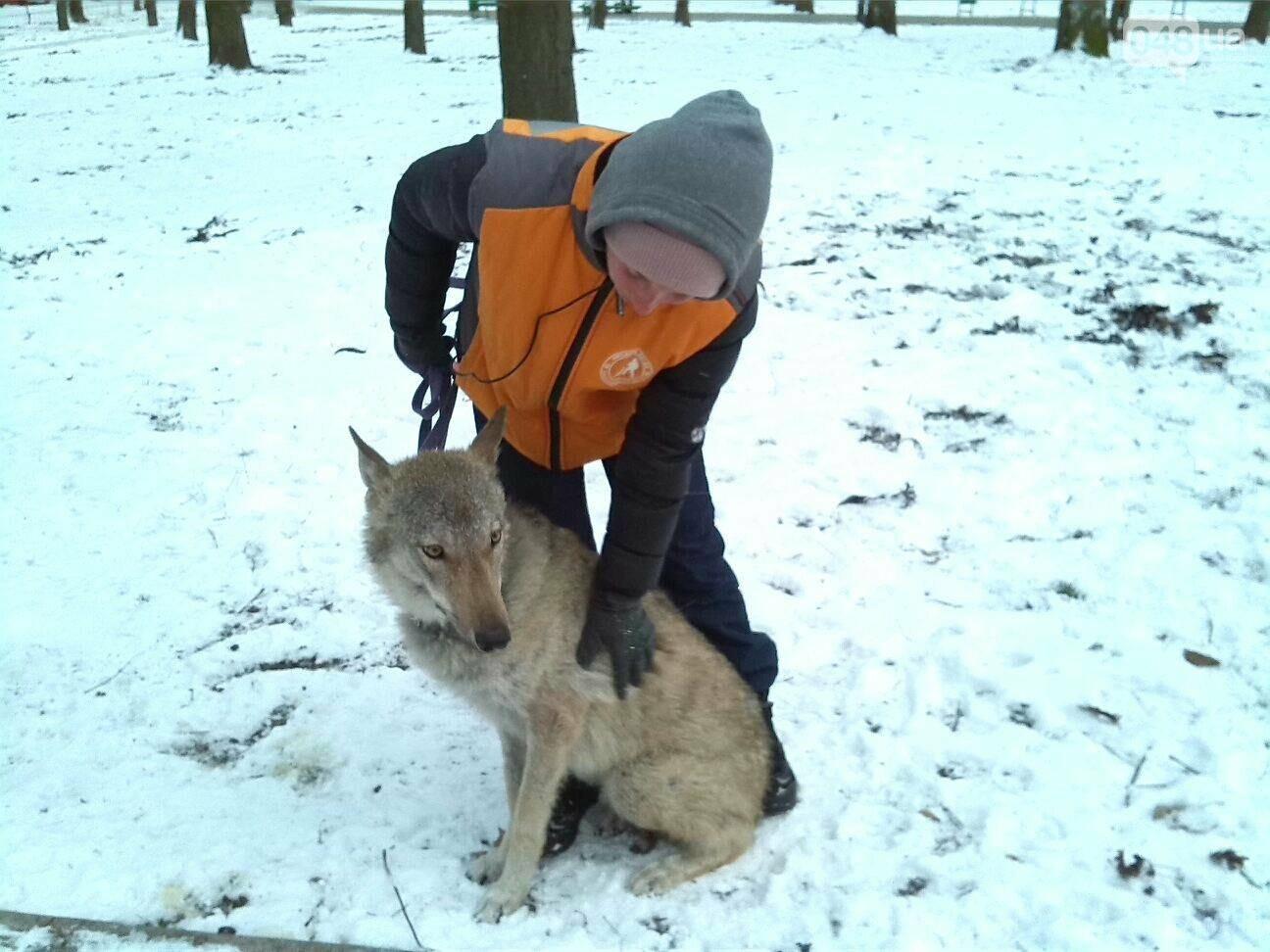 В Одесском парке гуляет волк, - ФОТО, фото-3