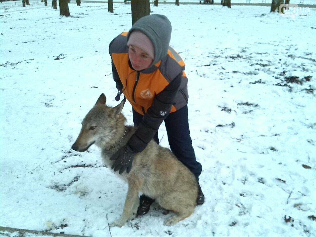 В Одесском парке гуляет волк, - ФОТО, фото-2