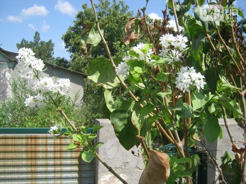В Одессе в сентябре зацвели деревья: экологи назвали причины, - ФОТО, фото-2