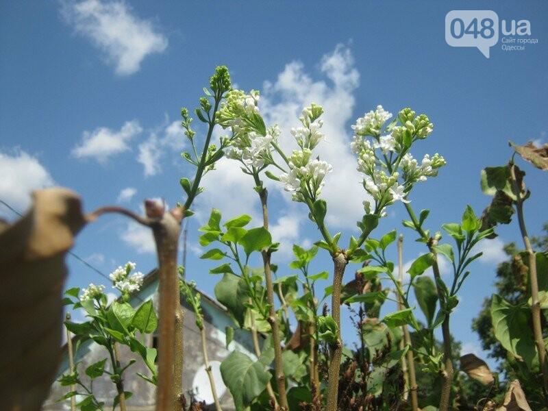 В Одессе в сентябре зацвели деревья: экологи назвали причины, - ФОТО, фото-1
