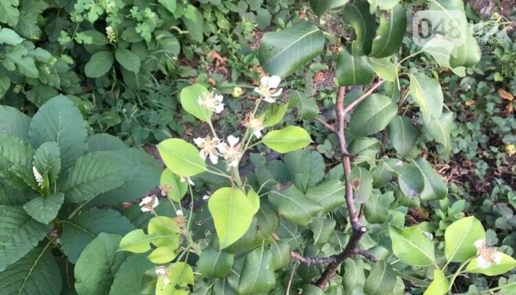В Одессе в сентябре зацвели деревья: экологи назвали причины, - ФОТО, фото-4