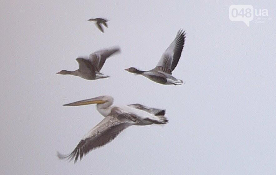 Розовый пеликан, Максим Яковлев