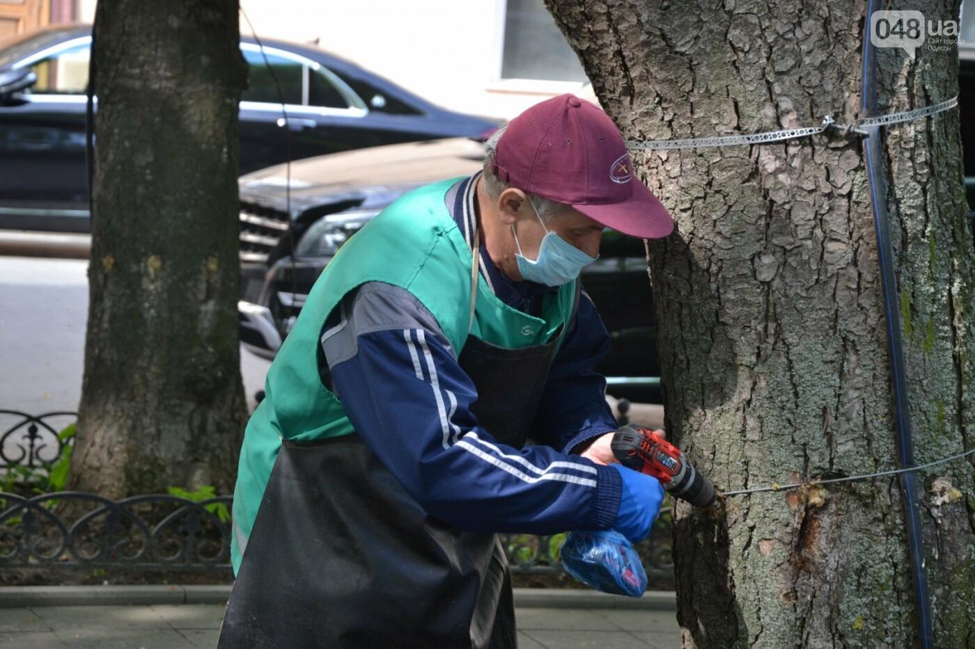В Одессе вакцинируют 1000 каштанов,- ФОТО, ВИДЕО, фото-1