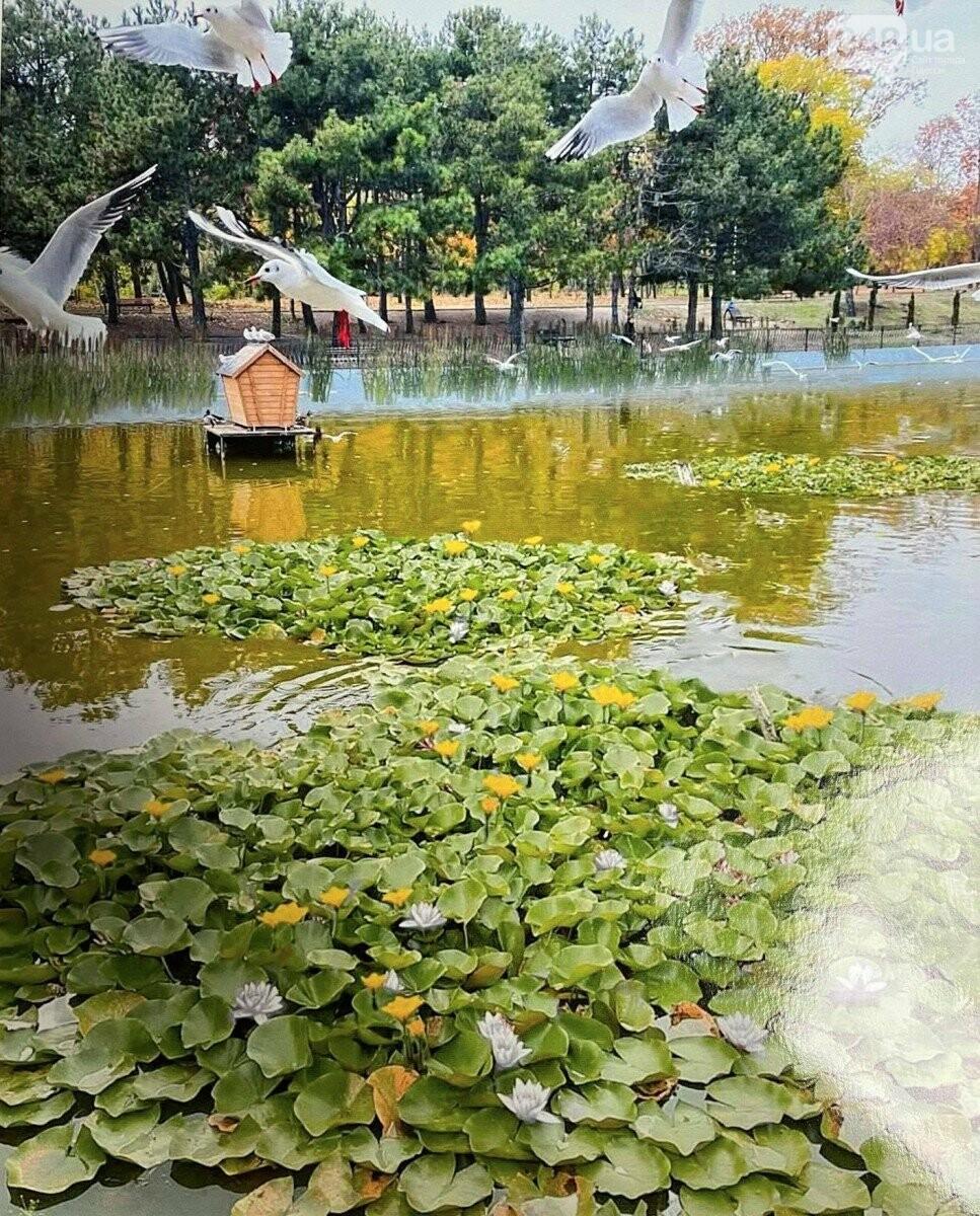 В Одессе на пруду в парке Победы расцветут кувшинки,- ФОТО, фото-4