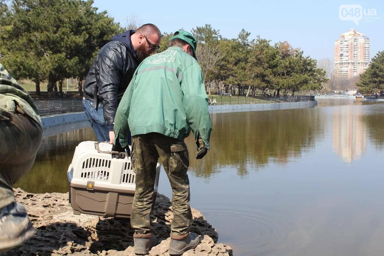 Из одесского зоопарка вернулись в пруд в парке Победы спасённые черепахи и лебедь, - ФОТОРЕПОРТАЖ , фото-9