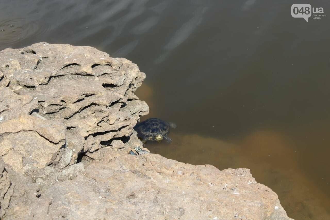 Из одесского зоопарка вернулись в пруд в парке Победы спасённые черепахи и лебедь, - ФОТОРЕПОРТАЖ , фото-4