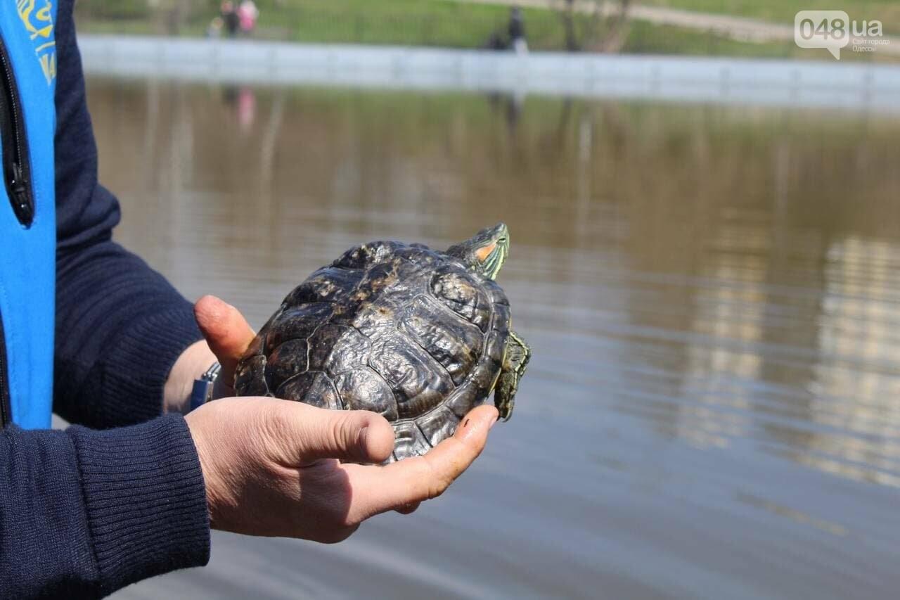 Из одесского зоопарка вернулись в пруд в парке Победы спасённые черепахи и лебедь, - ФОТОРЕПОРТАЖ , фото-3