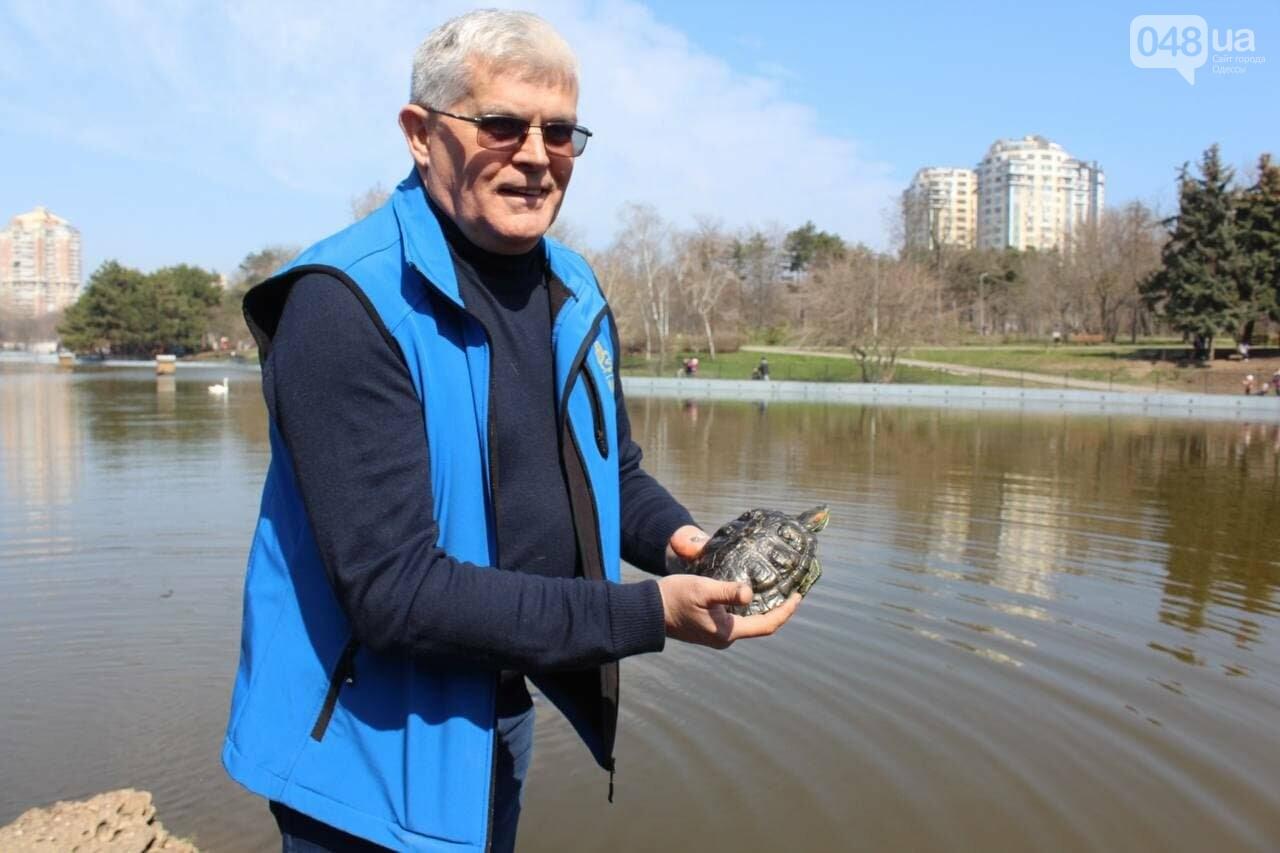 Из одесского зоопарка вернулись в пруд в парке Победы спасённые черепахи и лебедь, - ФОТОРЕПОРТАЖ , фото-2