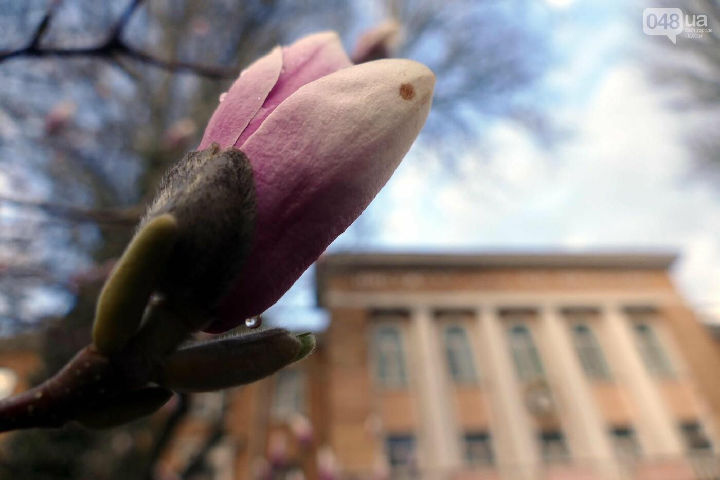 В Одессе начали цвести магнолии,- ФОТО, фото-12