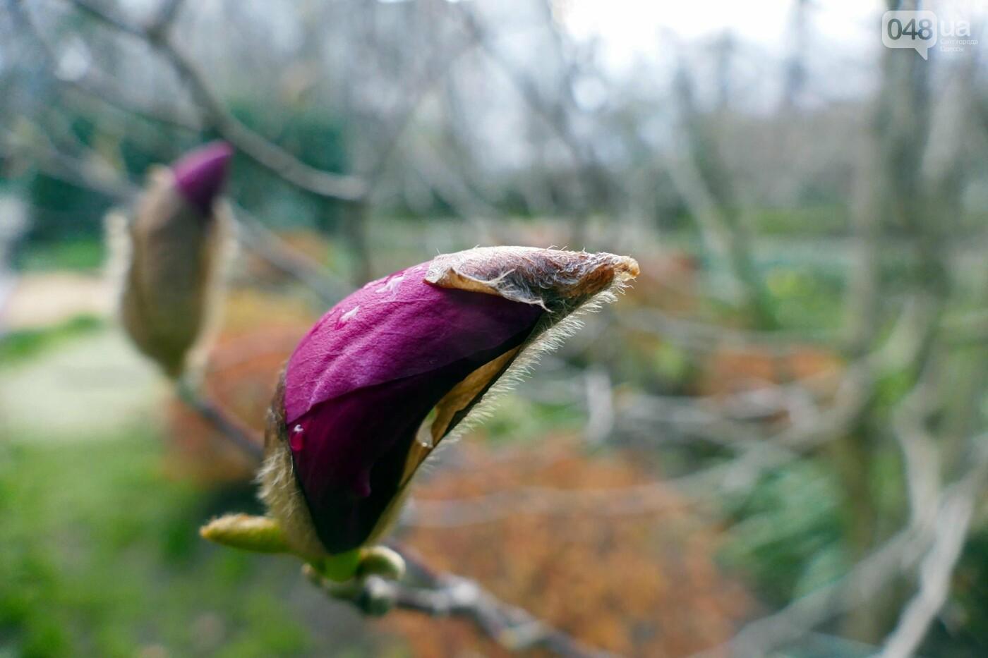 В Одессе начали цвести магнолии,- ФОТО, фото-4