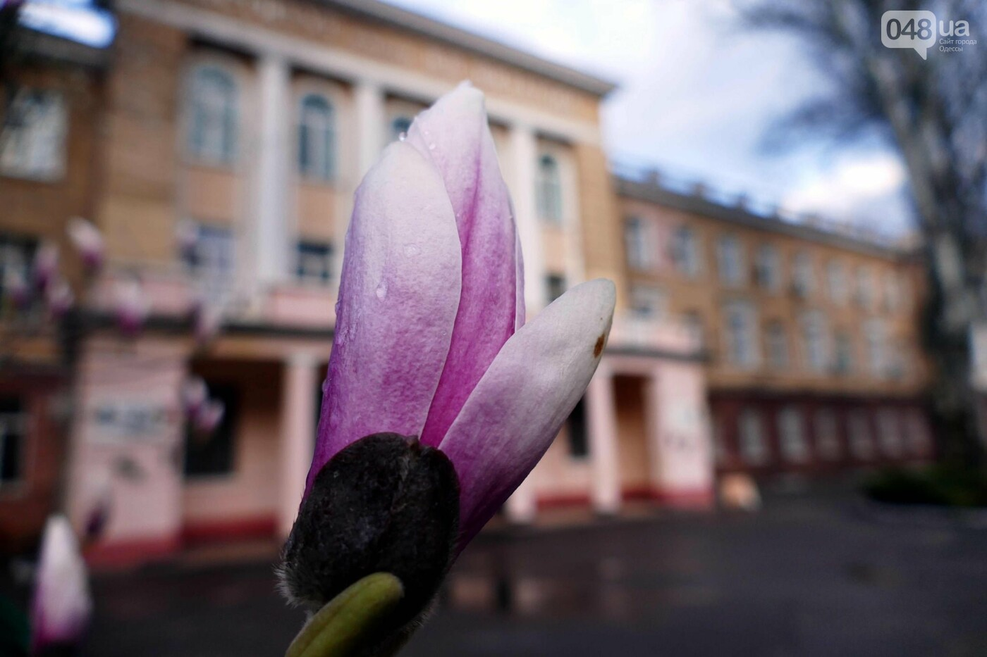 В Одессе начали цвести магнолии,- ФОТО, фото-7