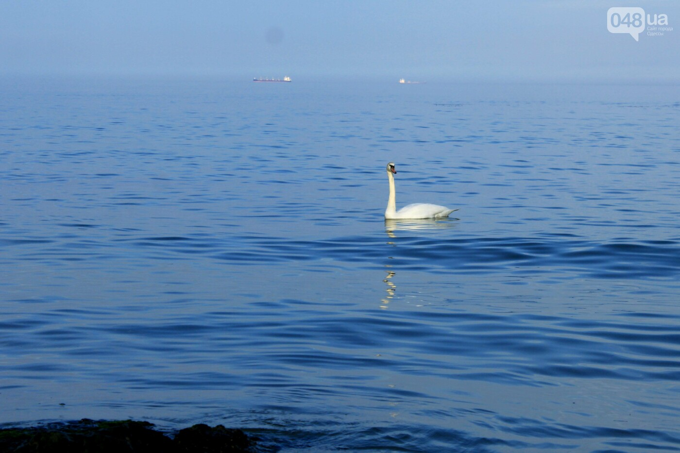 На одесском пляже поселился лебедь, - ФОТО, ВИДЕО, фото-2
