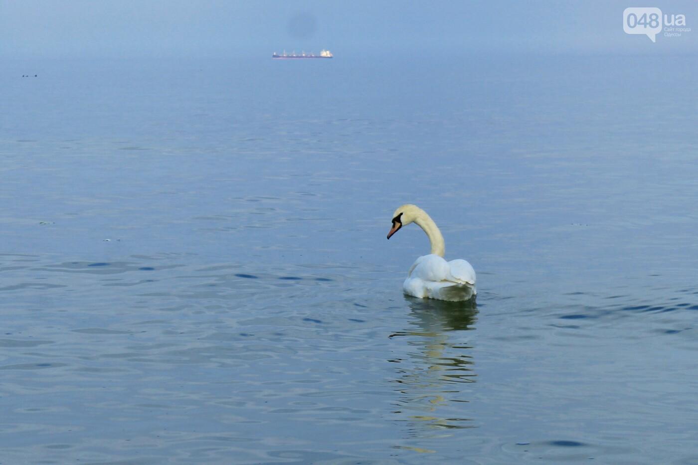 На одесском пляже поселился лебедь, - ФОТО, ВИДЕО, фото-5