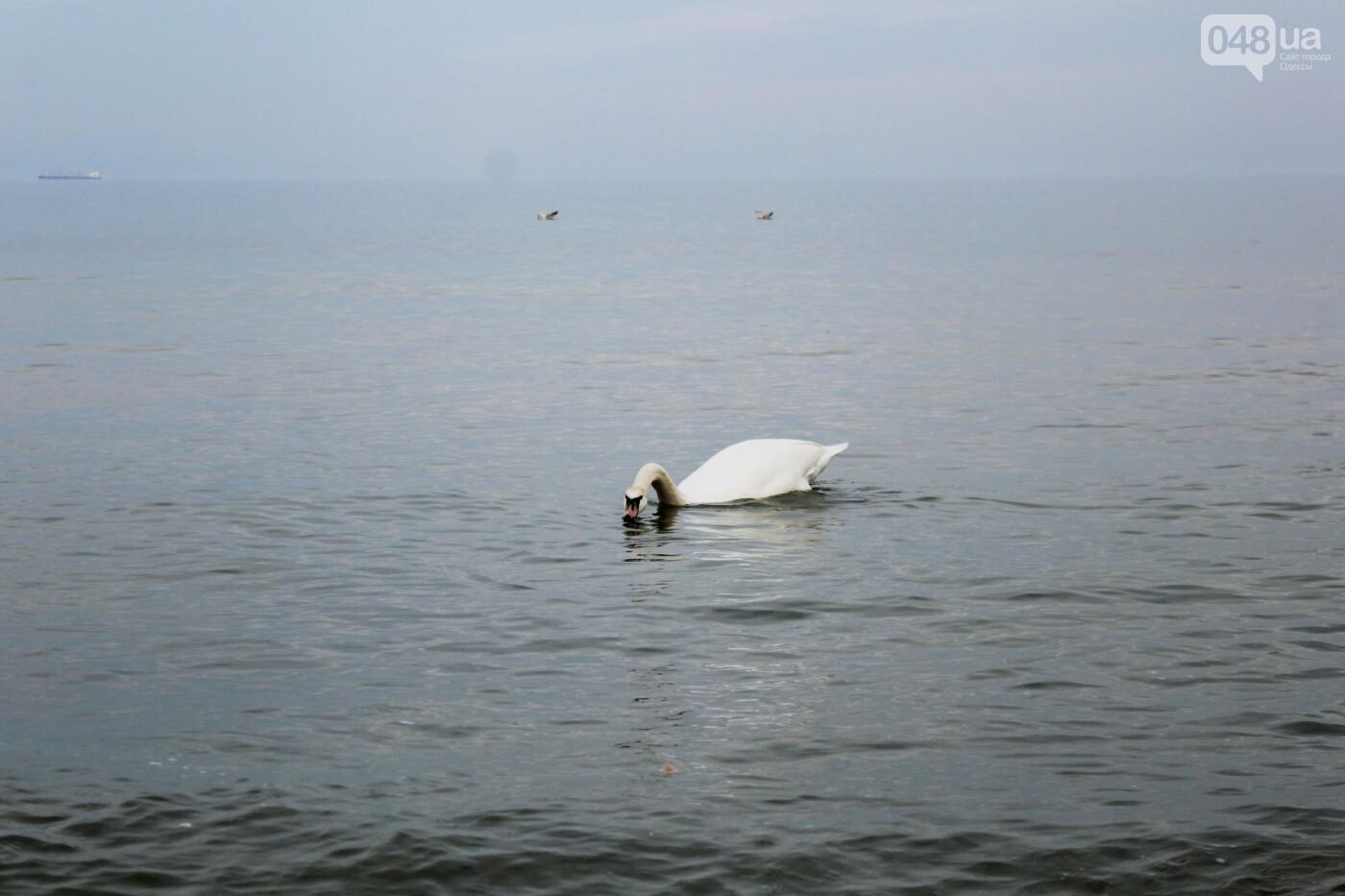 На одесском пляже поселился лебедь, - ФОТО, ВИДЕО, фото-6